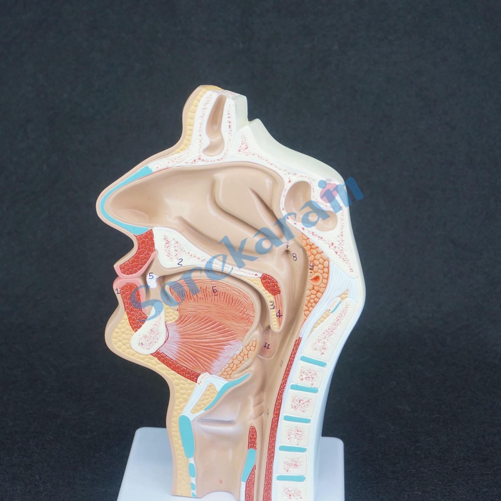 Human Pathology Nasal Cavity Oral Longitudinal Anatomica Model Medical Natural Life Size Teaching Resources