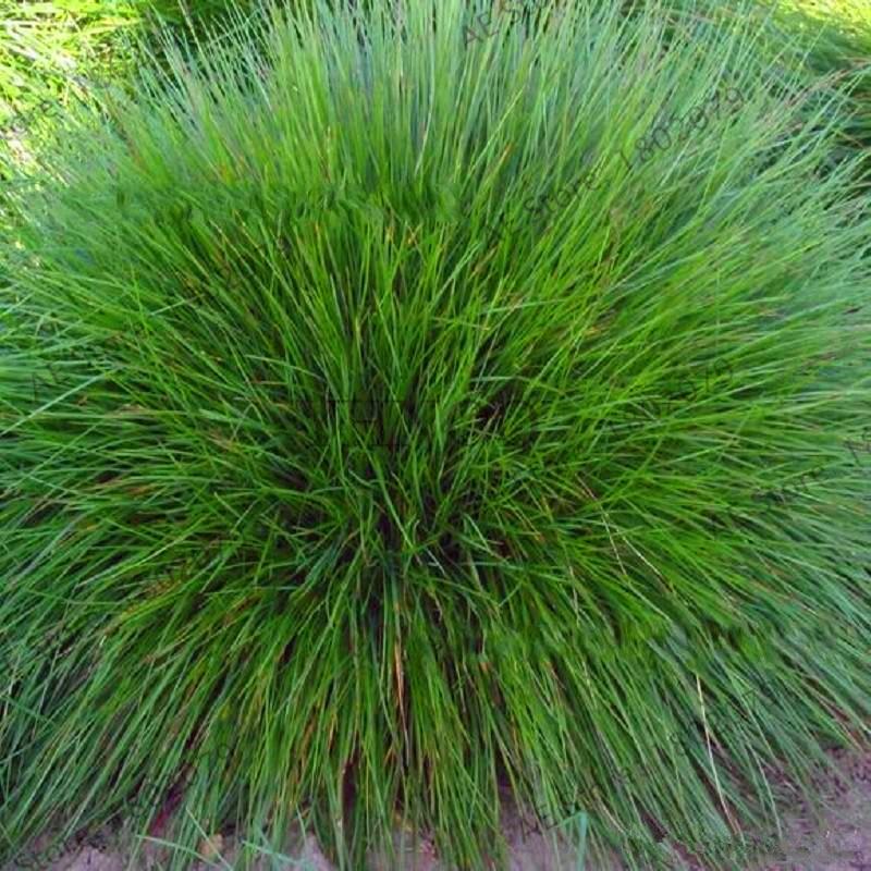 New 2018!Blue Fescue Grass Ornamental Grass Floresling Rare Perennial Flower Garden Outdoor Plants Indoor Balcony Bonsai Plantas