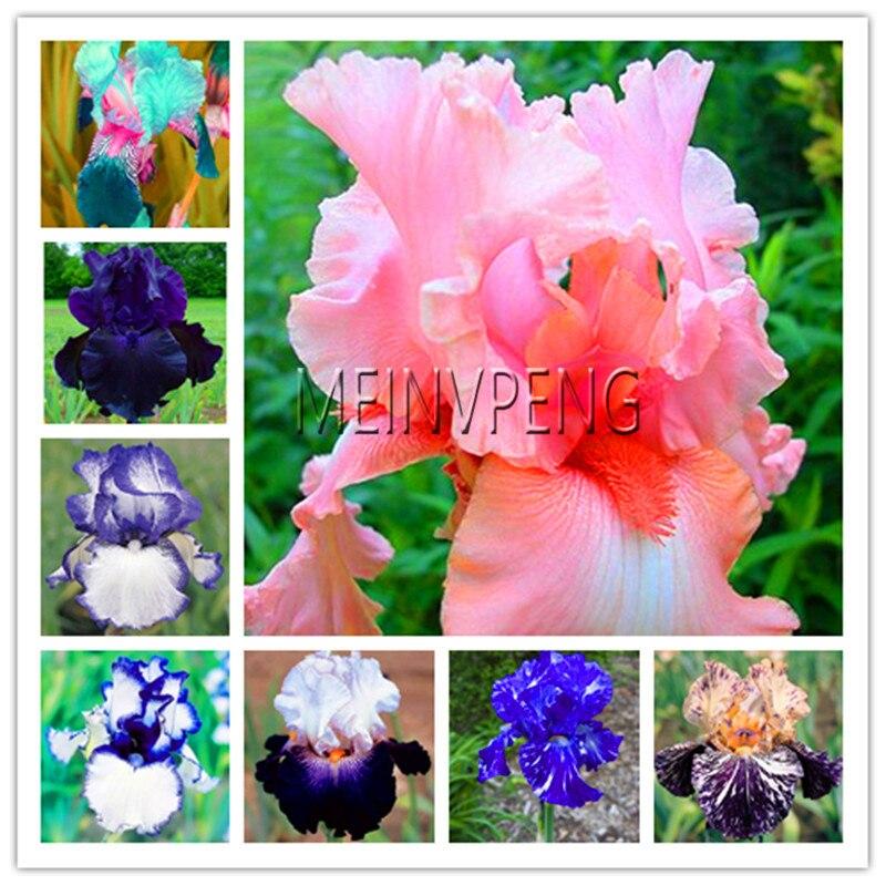 Лидер продаж! 100 шт. Iris семена, бонсай семена цветов Фамильные Ирис Tectorum Многолетние Семена Редкие palnt для дома и сада, # 224EON