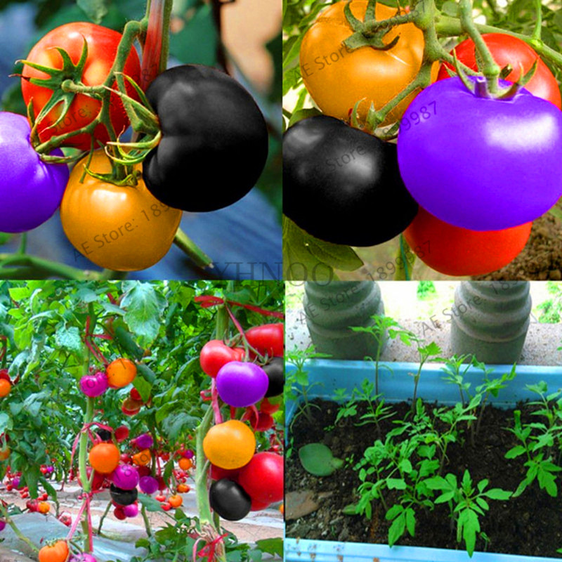US $0 19 75% OFF|Hot Sale!100PCS Rare Rainbow Tomato Plants Ornamental Pot  Organic heirloom Bonsai vegetables herb food for Home Garden plant bo-in