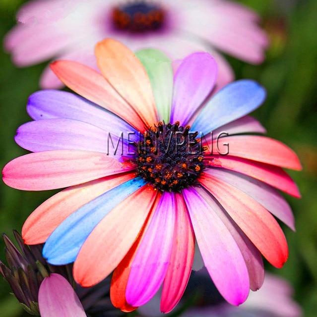 Tempo-Limite!! 100 pcs Chegada Nova Flor Plantas Bonsai Margarida, Rara Flor Crisântemo Flores Em Vasos de Plantas para o Jardim de Casa, # WBO