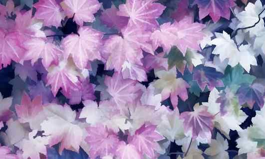 """2018 البيع المباشر بيع Sementes 20 قطع القيقب بونساي نادر في العالم كندا هو جميلة بونساي النباتات الأشجار """"الأرجواني شبح"""""""