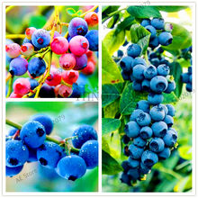 100pcs/bag,Blueberry Plants,Bonsai fruit Plantas potted plant for home and garden,easy to plant(China)