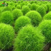 200 seeds/bag Grass Perennial Burning Bush Kochia Scoparia plant Garden Ornamental easy grow garden flowers