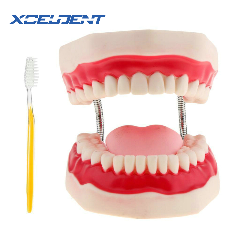 1pcs Dental Adult Teeth Model 6 Times Oral Models Tooth With Tongue For Kindergarten Child Early