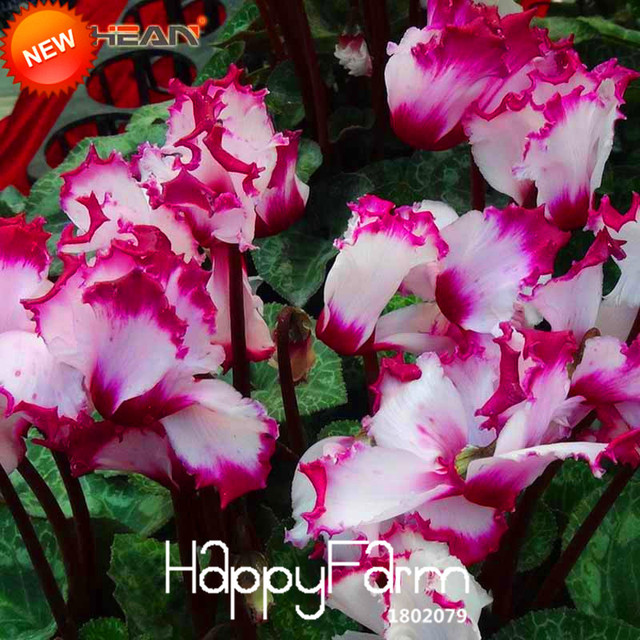 Big Promotionpurple Fringing White Cyclamen Flower Bonsai Perennial