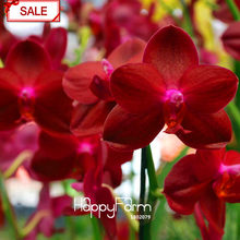 Best-Selling!50flores/bag Crimson Phalaenopsis bonsai Perennial Flowering Plants Orchid Potted Charming Flower garden,#2OVGQF(China)