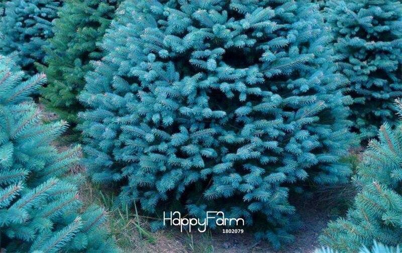 New 2018!100 Pcs/lot Home Garden Plant sky Blue Spruce Picea Pungens Glauca Tree Plants sementes perennial Bonsai,#6XRJAR