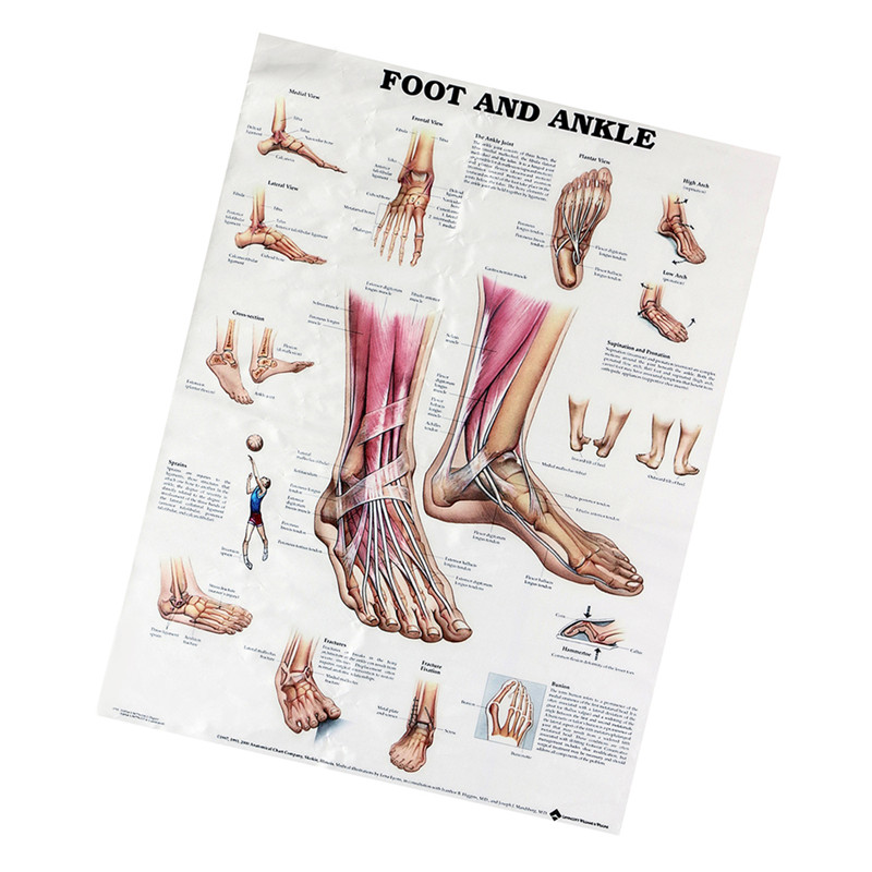 80x60cm Foot And Ankle Poster Anatomical Muscular And Skeletal Chart For Human Body Foot Massage Educational Teaching Training80x60cm Foot And Ankle Poster Anatomical Muscular And Skeletal Chart For Human Body Foot Massage Educational Teaching Training
