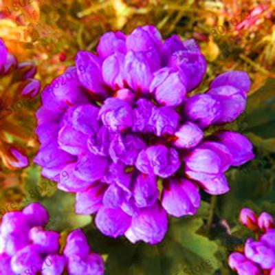 New Fresh LAND MIRACLE 5PCS Rare Geranium Plants Purple Tulip Pelargonium Bonsai Potted Plant Rare Hardy Plant Perennial,#K
