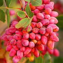 Hot Sale! Nut tree Pistachios Garden Chinese Pistacia rare outdoor fruit tree Plantas tropical plant bonsai Flores 5pcs/bag,#D2