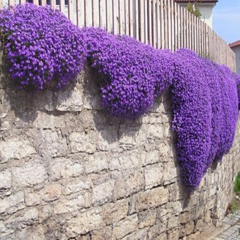 100pcs Rock Cress,Aubrieta Cascade Purple FLOWER bonsaiS,Deer Resistant Superb perennial ground cover home garden(yan shi qin)