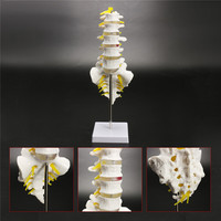 30cm Life Size Chiropractic Human Anatomical Lumbar Vertebral Spine Anatomy Model School Educational Medical Teaching Model Tool