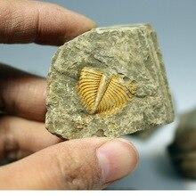 Природный трилобит окаменелый Коралл брахиопода и Conchostraca трилобиты Корона насекомое хвост окаменелый камень обучения