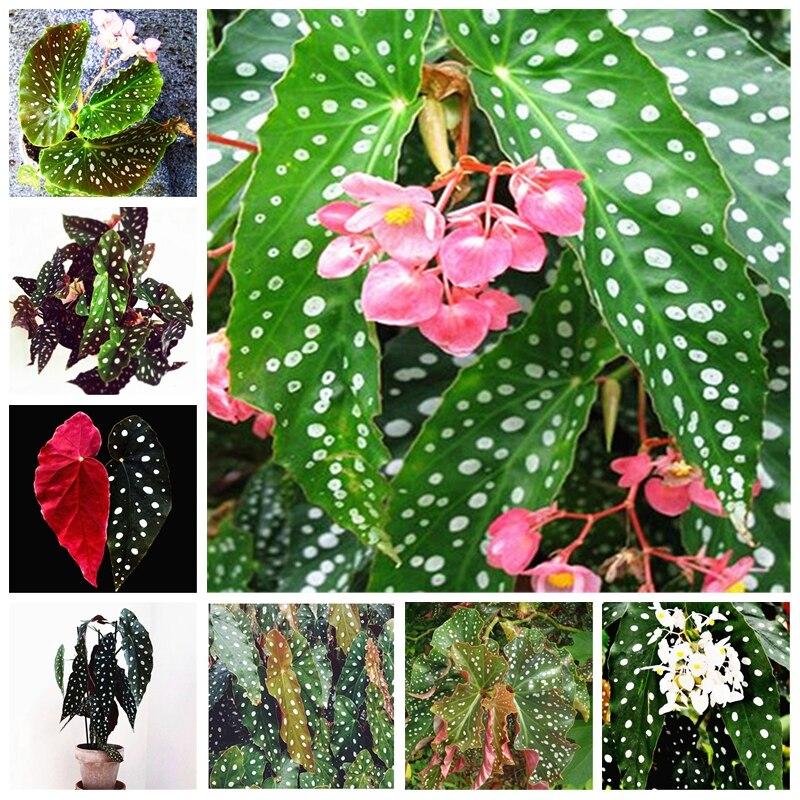 100Pcs/ Bag Begonia Bonsai Flower Plant Garden Terrace Outdoor Color Leaf Begonia Planta Potted Family Garden Perennial Planting