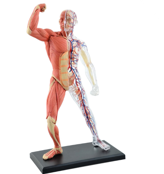 4D assemblé Muscle humain Anatomy4d maître puzzle assemblage jouet corps humain organe modèle anatomique modèle d'enseignement médical