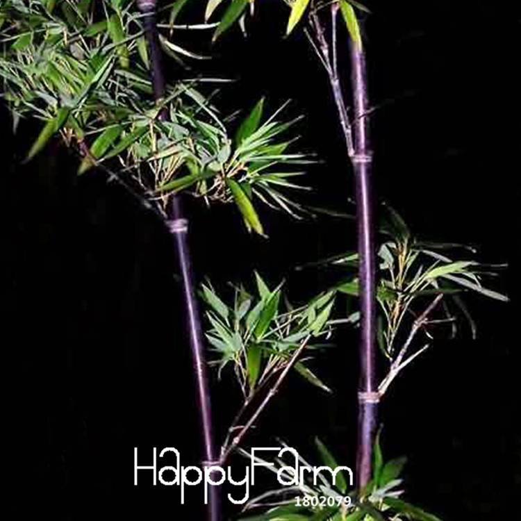 Best Purple Bamboo Plant Brands And Get Free Shipping A863