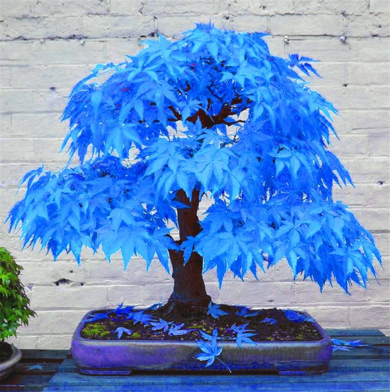 20 kousky bonsajových stromů bonsajových stromů. Vzácné modré bonsai japonské javor bonsai rostliny pro domácnost a zahradu