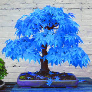 Bonsai Plants. Maple-Tree Japanese-Maple Blue Home-Garden 20pcs for Rare-Sky-Blue