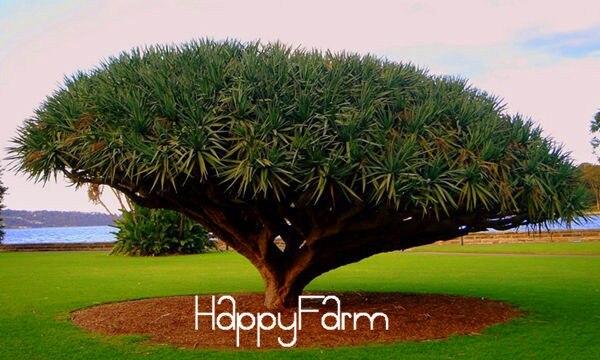 100 Pcs Rare Dracaena Tree Bonsai Canary Island Dragon Blood Draco Showy