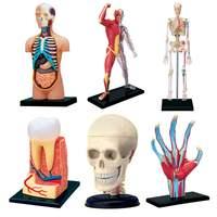 4D Human Torso Body Model Anatomy Anatomical Internal Organs Brain Tooth Hand Model For Detachable Teaching Educational Science