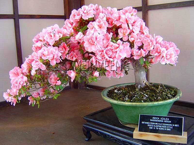Где можно купить цветы сакуры