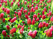 100 Pieces/Bag Big Sale!Crimson Clover, flower Plants Garden decoration leader Potted plant Bonsai(China)
