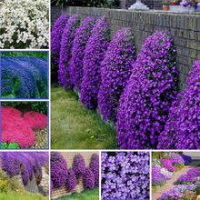 100 Pcs/Bag Creeping Thyme Bonsai, Rare Color ROCK CRESS Plant Perennial Ground Cover Flower Natural Growth For Home Garden