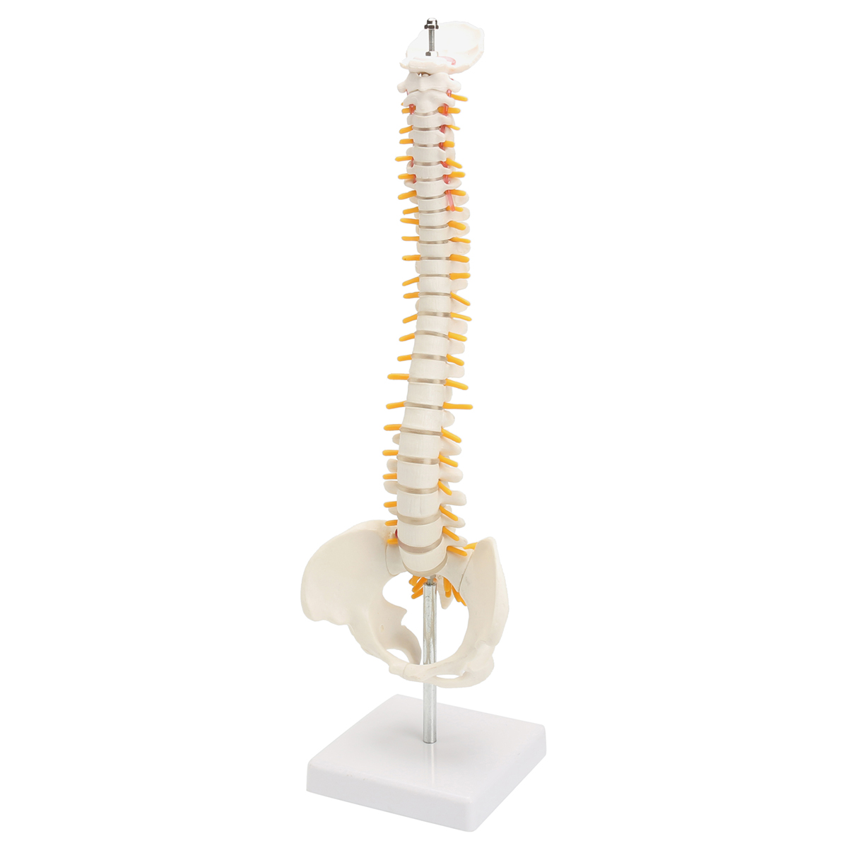 45cm PVC Spine Bone Model With Pelvis Femur Heads 1/2 Life Lab Equipment Teaching Resources Medical Science Educational Supplies45cm PVC Spine Bone Model With Pelvis Femur Heads 1/2 Life Lab Equipment Teaching Resources Medical Science Educational Supplies