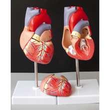 Человеческое Сердце анатомическая Учебная модель внутренние органы медицина модель органов эмульгированная+ стенд медицинская наука учебные материалы