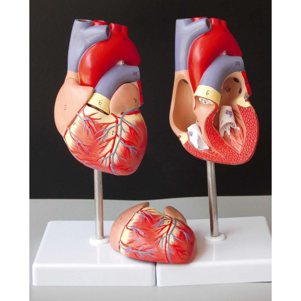 Human Heart Anatomical Anatomy Teaching Model Viscera Medical Organ Model Emulational + Stand Medical Science Teaching Resources