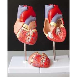 Human Heart Anatomical Anatomy Teaching Model Viscera Medical Organ Model Emulational + Stand Medical Science Teaching Resources(China)