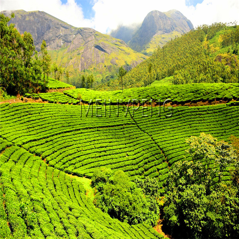 Lowest Price!New Crop Chinese Green Tea Tree Plantas Fresh Camellia Sinensis Flores Garden Bonsai Green Tea Flower Plant 5 PCS