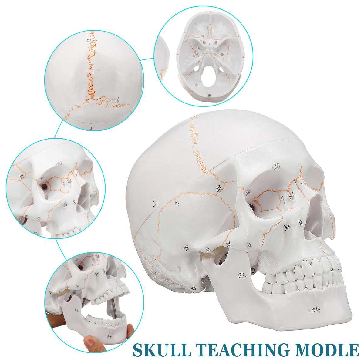 1:1 Skull Model Convenient Of Human Skull Model Medicine Skull Human Anatomical Anatomy Head Studying Anatomy Teaching Supplies