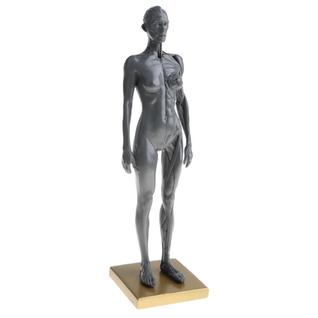 30 cm femme modèle humain anatomie tête de crâne Muscle médical os artiste dessin squelette à vendre