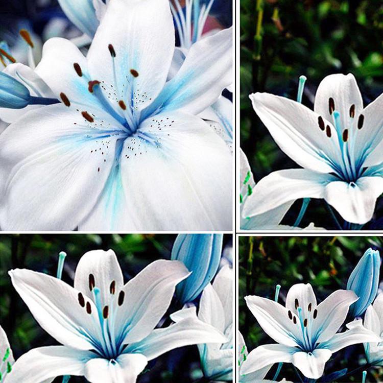 20шт Горшечное растение синий редкий пахучая Лилия цветы для дома и сада балкон декоративные растения