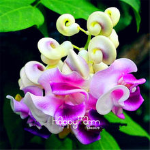 Big Sale! 20 Pcs/lot Langka Jepang Siput Vine Flores Bonsai DIY Taman Rumah Tanaman Pot Bunga Plantas Wisteria(China)