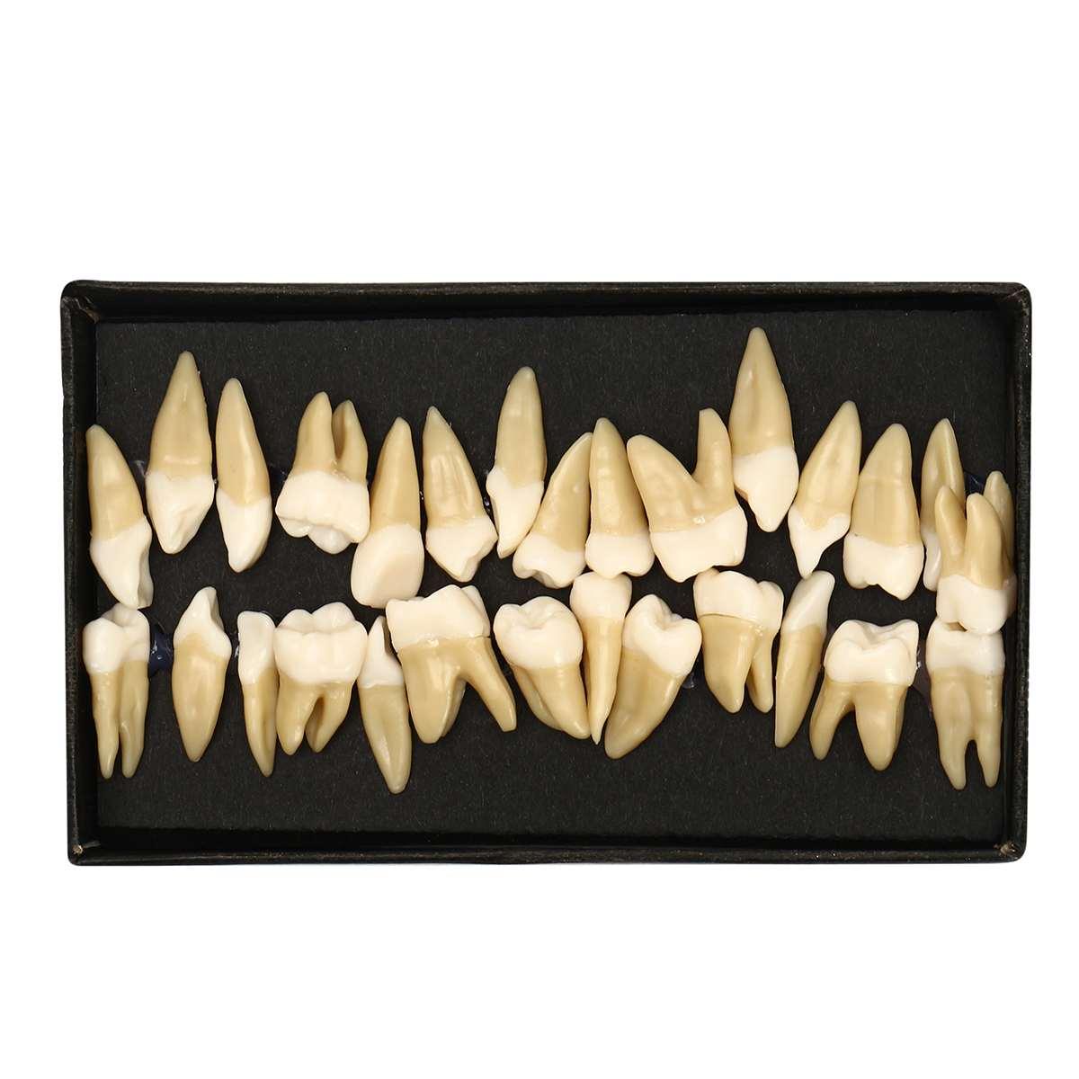 Dental 28 pcs 1:1 demonstration permanent teeth teach study model Dental Implant Dentist Practice Product Dental teaching modelDental 28 pcs 1:1 demonstration permanent teeth teach study model Dental Implant Dentist Practice Product Dental teaching model