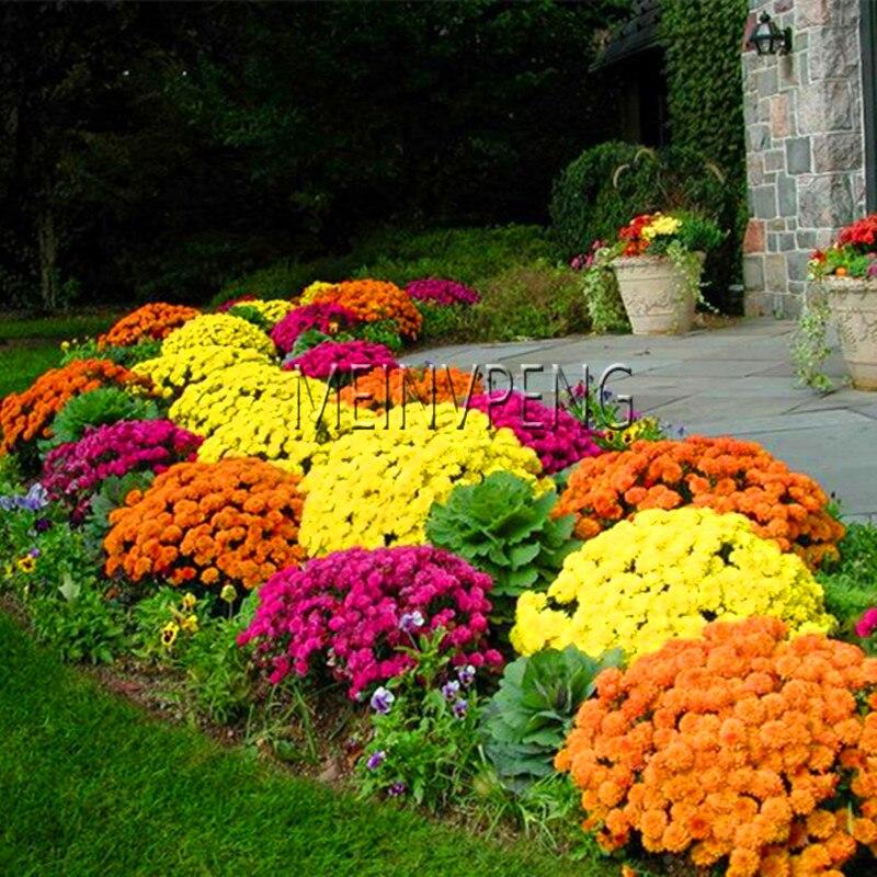 Натуральная! 100 шт./пакет почвопокровные хризантемы семена легко расти Семена для дома сад бонсай растений, # C8V6XZ