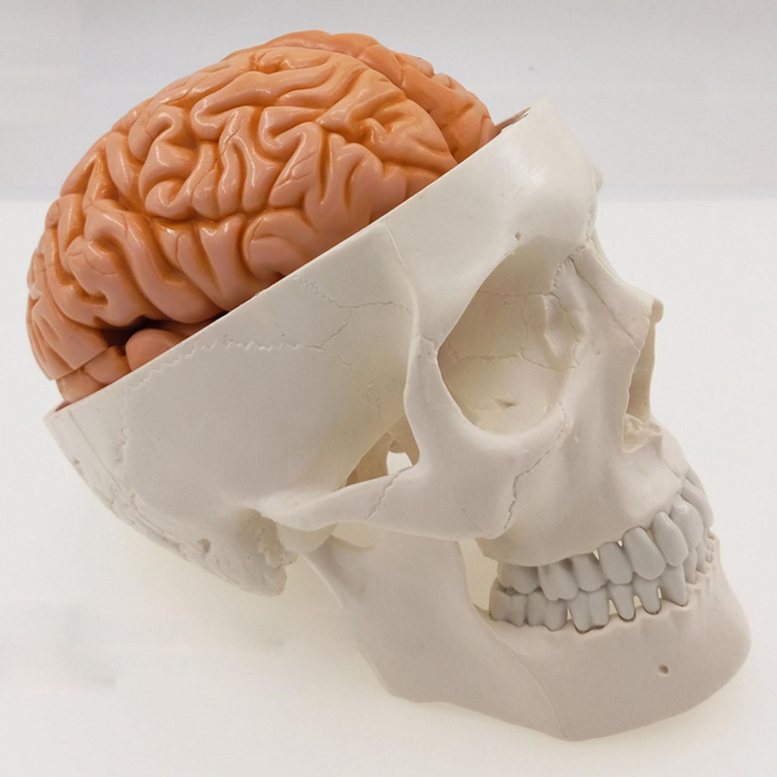 Life Size Human Skull 3 Parts With Brain 8 Parts Numbered Model for Medical Study Teaching Resources