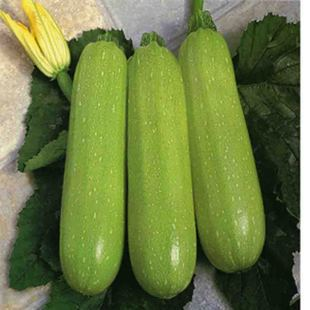 Ya Green Zucchini Bonsai 5Pcs Healthy Vegetable Bonsai