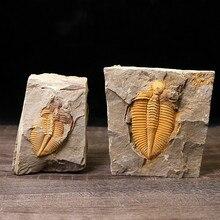 Редкий трилобит метакрифей giganteus Devonian из Боливии трилобиты DinoCrown Insect учебный образец коллекции