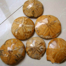 Natural starfish fossil rough wholesale diameter 7 cm billion years of fossils
