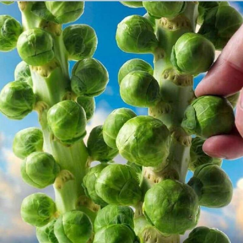 Европа Sub Горячие органические брюссельские ростки бонсай овощей бонсай XNUMX шт.