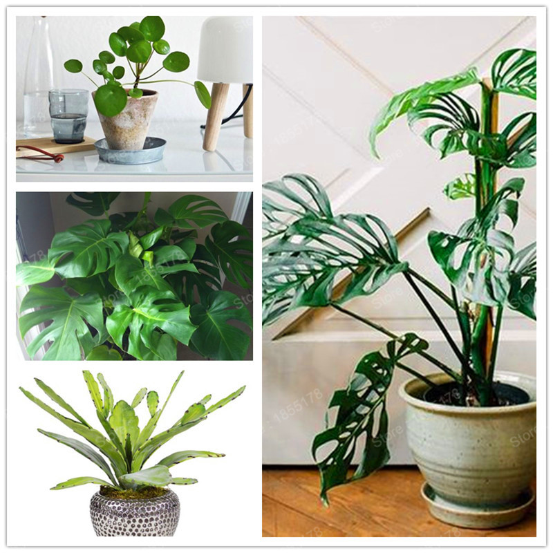 100 Monstera Deliciosa bonsai Potted Plants Novelty Fruit Like The