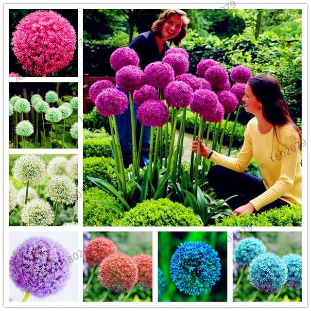 200pcs/bag Purple Giant Allium Giganteum, Beautiful Flower bonsai Garden Plant the budding rate 95% rare flower for kids
