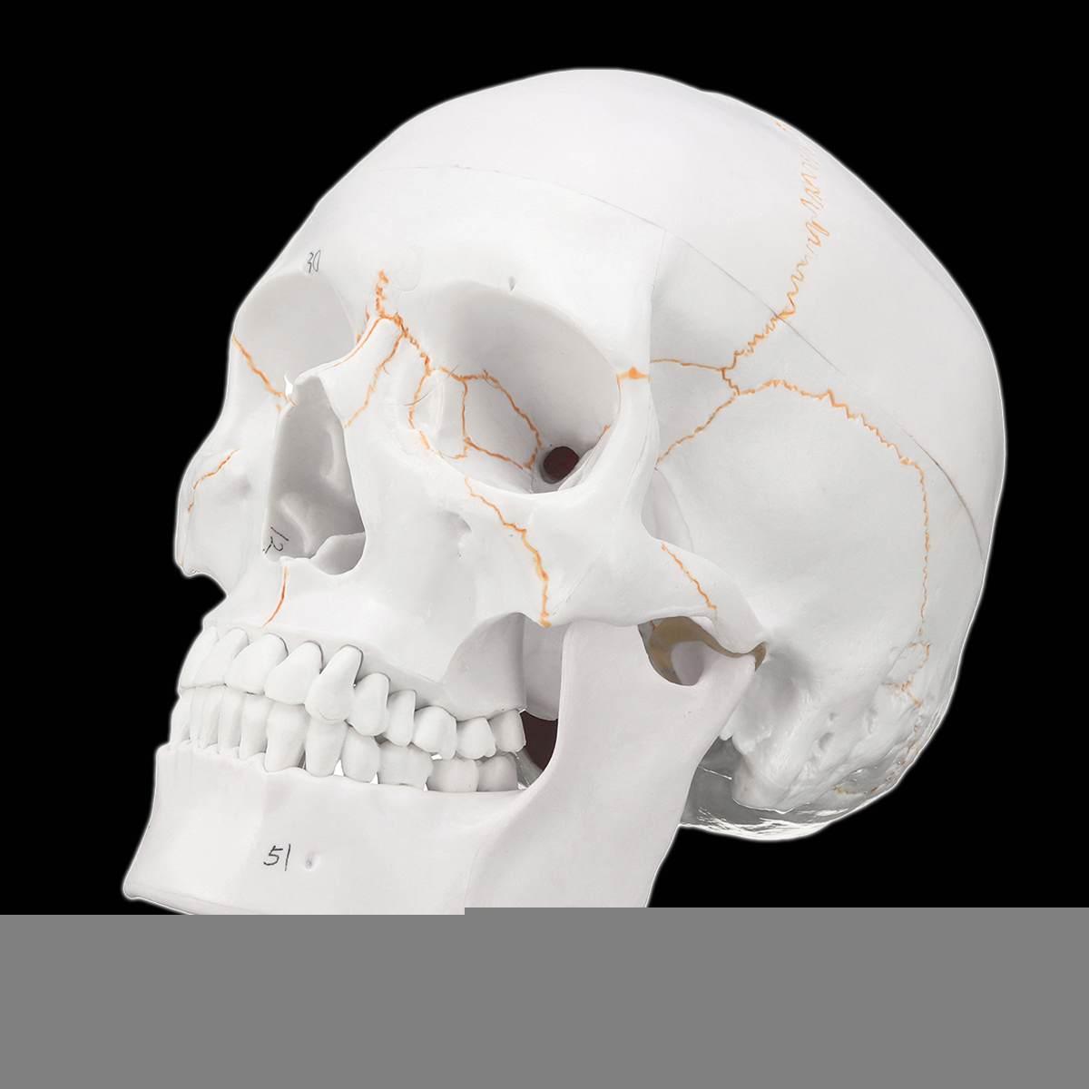 1:1 tête crâne modèle Science médicale squelette taille réelle crâne pour l'école anatomie humaine enseignement précis tête adulte modèle médical