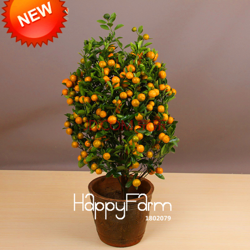 Best-Selling!100pcs/bag Balcony Patio Potted Fruit Trees Planted Bonsai Kumquat Plants Orange Garden Tangerine Citrus,#8B9JQ4