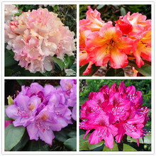 100pcs/bag 24 colors rhododendron seeds Ornamental flowers Plant for Garden & Balcony Hot sale