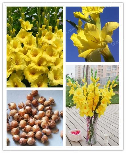 Yellow Gladiolus Bulbs( Gladiolus Bonsai), 95% Germination, DIY Aerobic Potted, Rare Gladiolus Bulbs-2 Bulbs